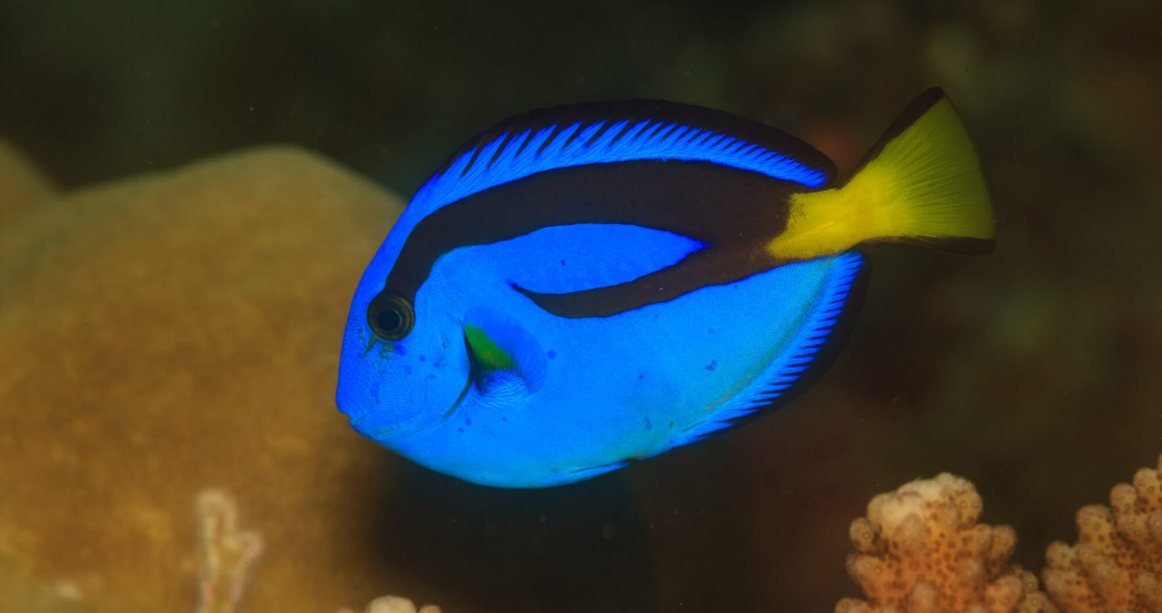 Palette Surgeonfish, Paracanthurus Hepatus : Divetrip to Pulau Weh With Odydive