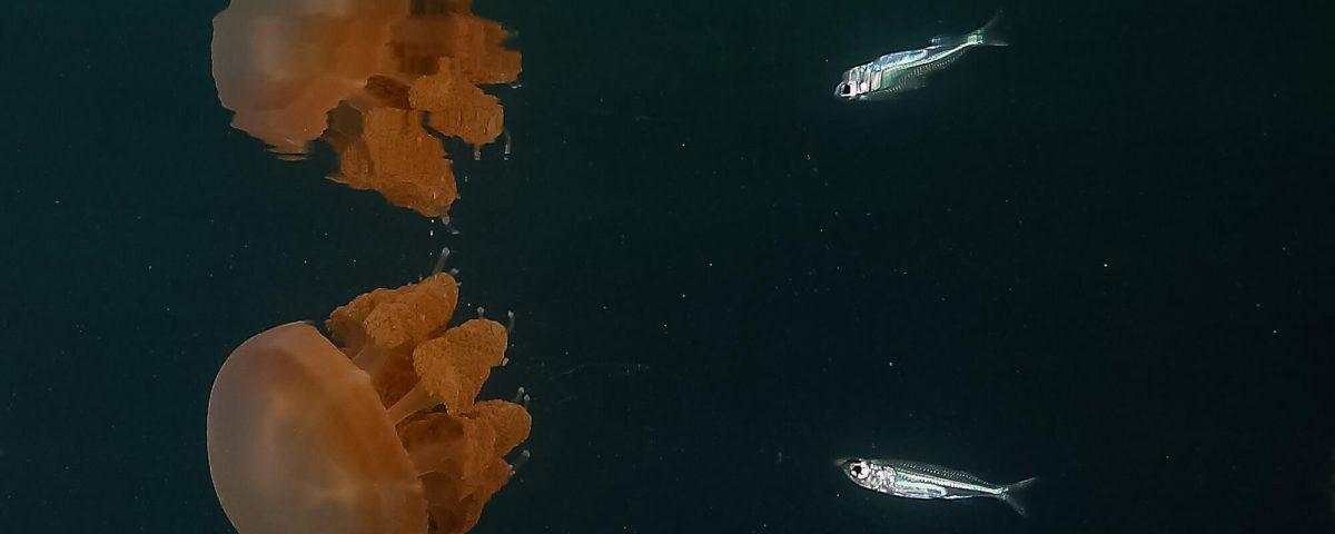 Jelly Fish Dive Trip to Maratua With ODYdive