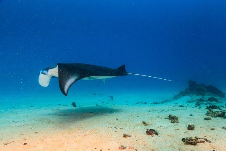 Manta Ray Dive Trip to Maratua With ODYdive