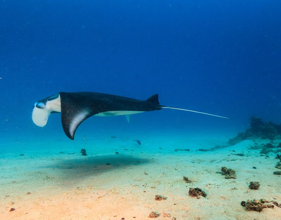 Manta Ray Dive Trip to Maratua With ODYdive