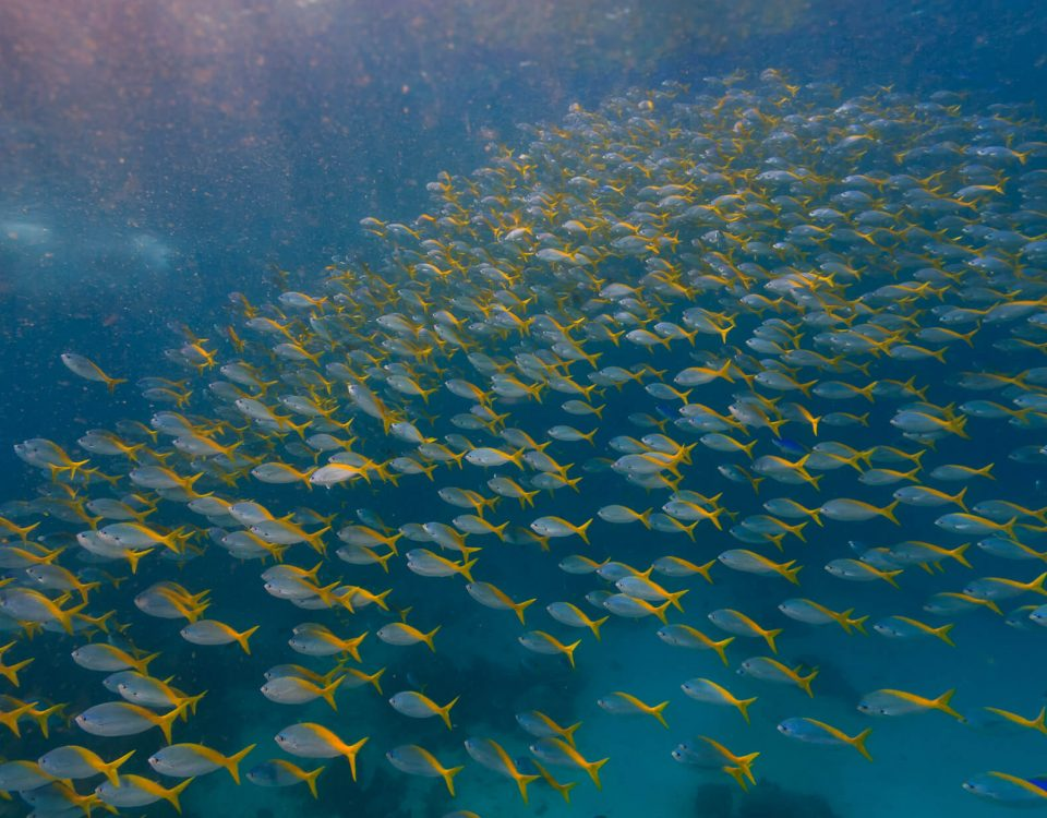 Schooling Fish Dive Trip to Maratua With ODYdive