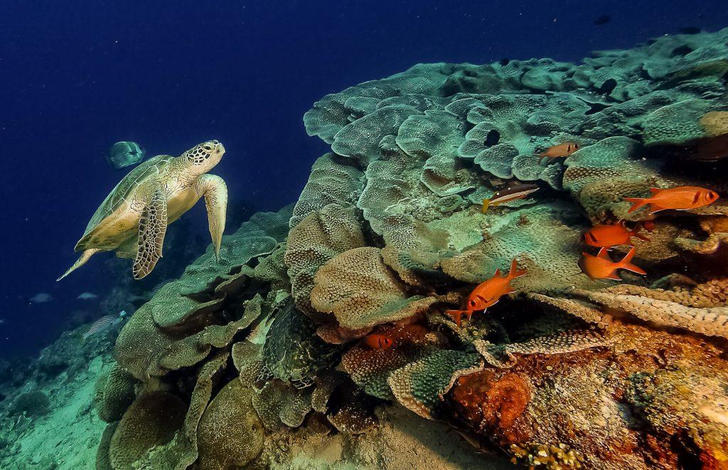 Turtle Dive Trip to Maratua With ODYdive